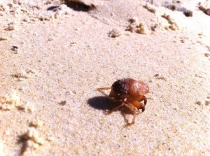 Nambucca Heads holiday rentals - holiday lettings. Mid North Coast accommodation near Valla Beach - crab on beach